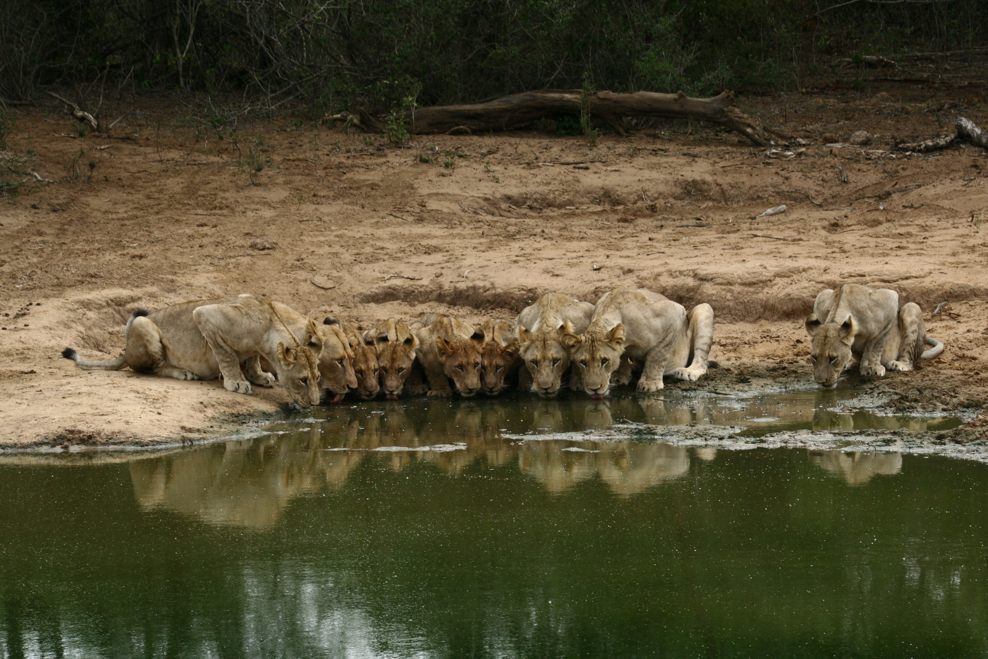 Swimming for Lions – Back from the Brink ! Task Completed